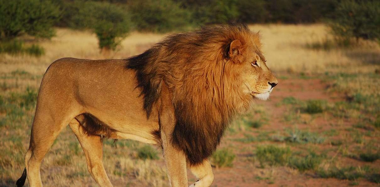 Our Favourite Five Famous Lions!